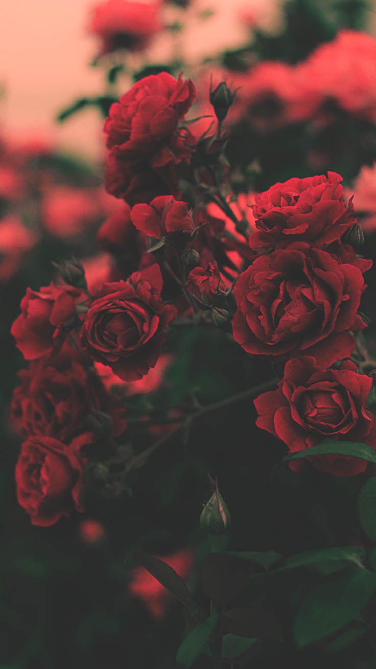 A Dozen Red Roses iPhone Wallpapers for Valentine's Day ...