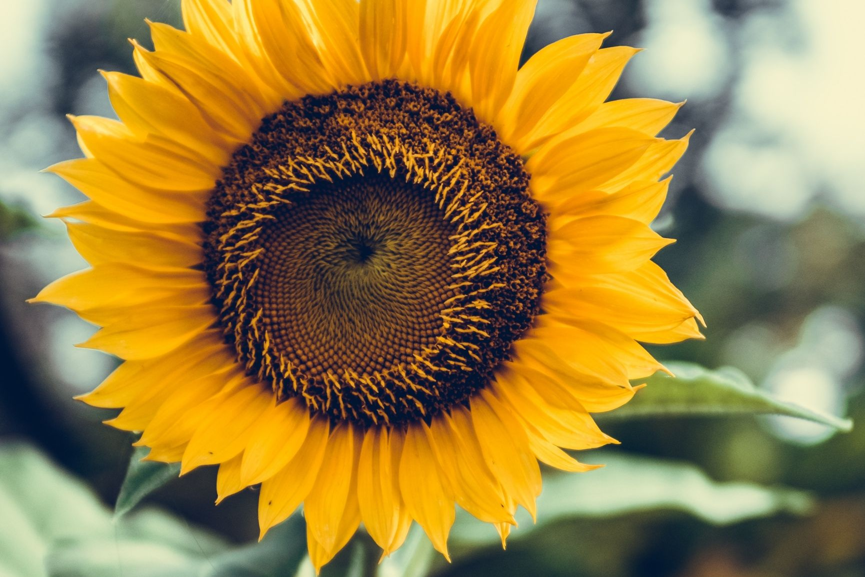 12 Super Pretty Sunflower iPhone Wallpapers